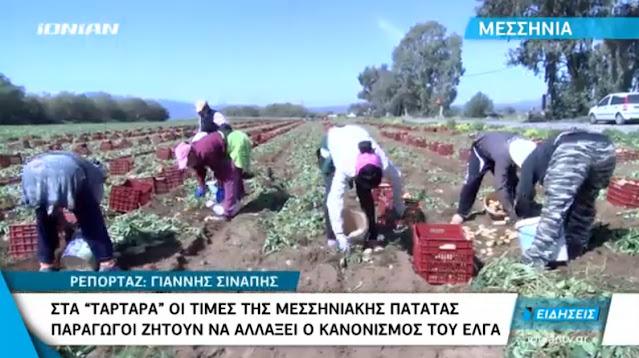 Απελπισία στους παραγωγούς πατάτας στη Μεσσηνία λόγω των καταστροφών από την κακοκαιρία