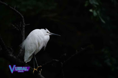 Contoh Simbiosis Komensalisme Burung Kuntul