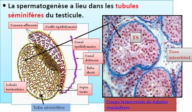 Structure du testicule de Mammifère