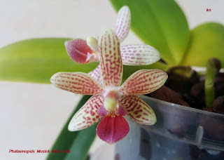 Bébés phalaenopsis 0d5287a4cc7e8c50med