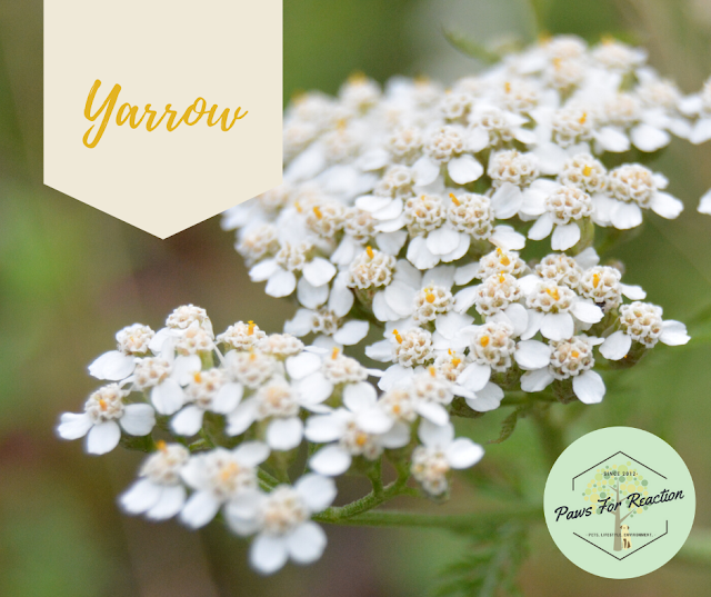 Spring safety 10 common flowers that are toxic to dogs Yarrow