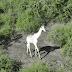 Ένα GPS σώζει την τελευταία λευκή καμηλοπάρδαλη