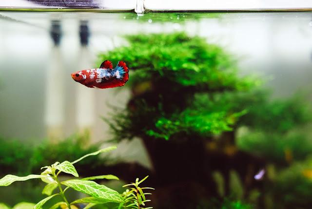 Pez Betta azul y rojo en acuario