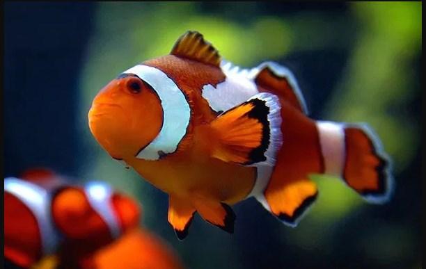Harga Ikan Badut, Berikut Daftarnya