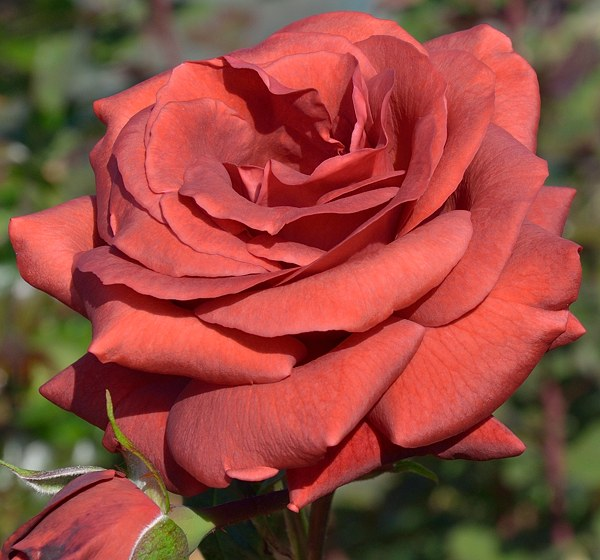 Terracotta сорт розы фото