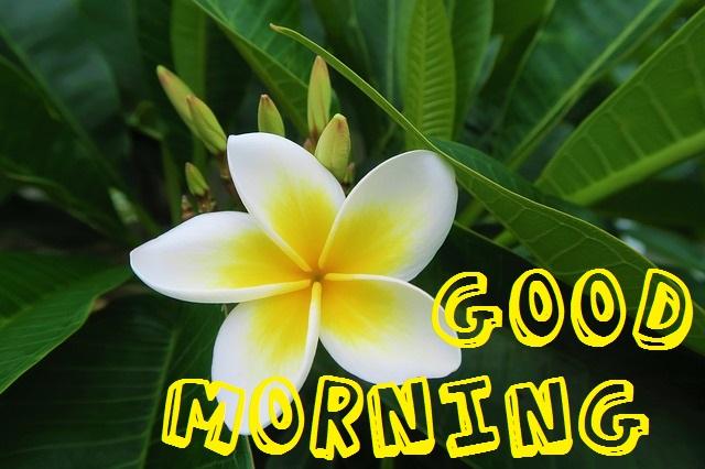 Good Morning white and Yellow Rose image