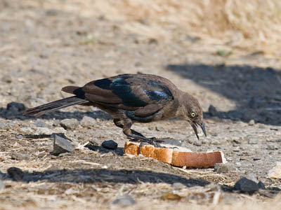 Photo of a molting male Brewer's Blackbird eating bread