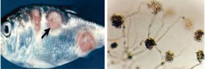 Penyakit Fungal (Jamur) Pada Ikan : Aphanomyces sp
