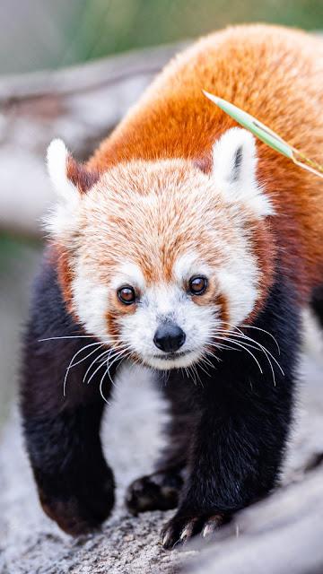 Red Panda Wallpaper, Cute Animal