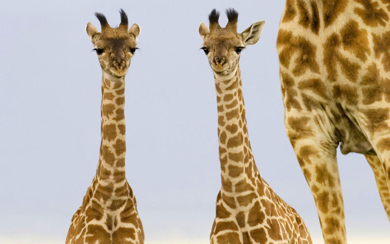 Solitary Dog Sculptor I: Animals - Animales: Giraffe ... Giraffe Skin Pattern
