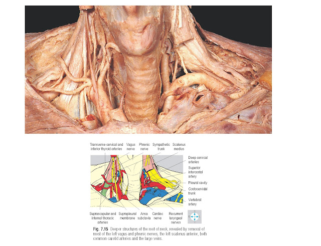 Deeper structures of the root of neck, revealed by removal of most of the left vagus and phrenic nerves, the left scalenus anterior, both common carotid arteries and the large veins.