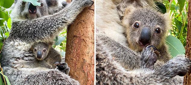 Humphrey, el primer koala bebé nacido después de los incendios de Australia