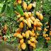 Cacao camerounais : le prix du kilogramme passe de 1125 Fcfa à 1200 Fcfa