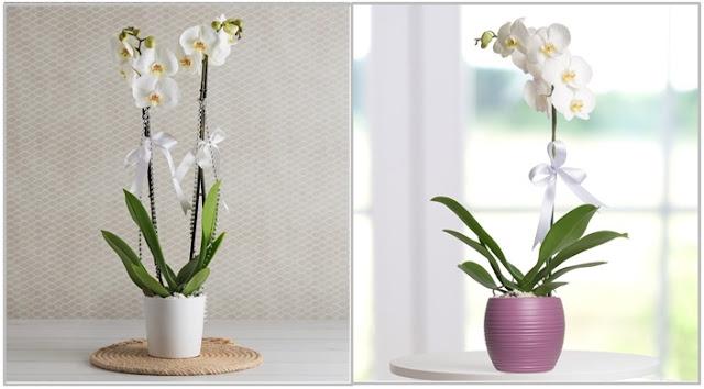 vazo içinde orkideler