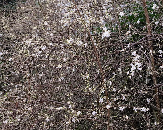 Cherry plum bush with buds and flowers