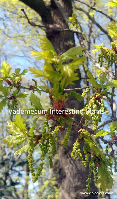 dąb, Dąb szypułkowy, dąb szypułkowy uprawa, Dąb szypułkowy zdjęcia, Drzewa liściaste, drzewo, Quercus robur, surowiec zielarski, Zomereik,