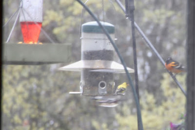first Baltimore oriole of the season