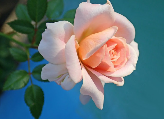 pink red rose wallpaper free download for mobile