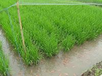 Inovasi Baru Pertanian, Teknik Budidaya Sistem Minapadi Agar Hasil Melimpah