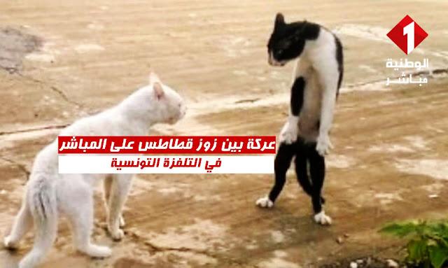 عركة بين زوز قطاطس على المباشر في التلفزة التونسية