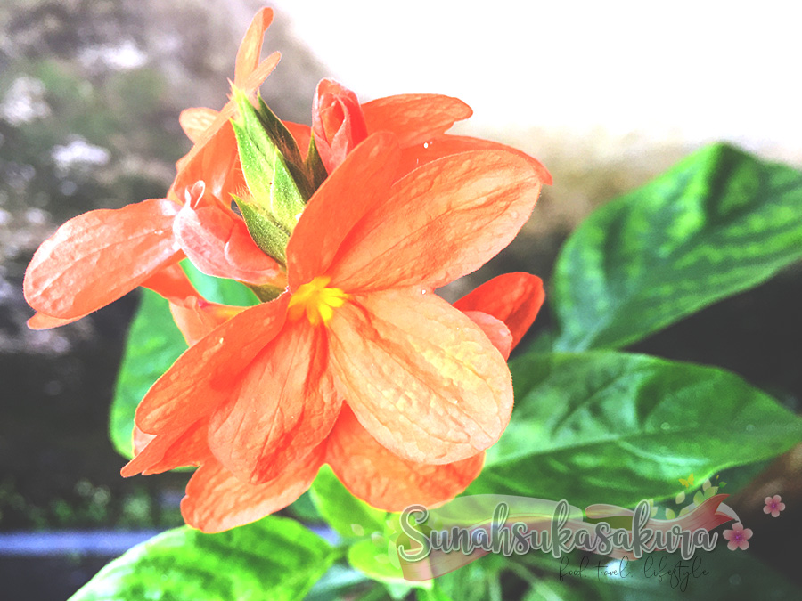Orange Marmalade Crossandra @ Firecracker