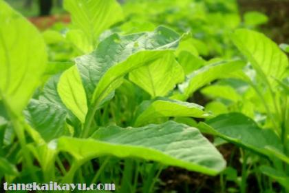 Bayam dengan julukan King of Vegetables sanagat bermanfaat buat kekebalan tubuh manusia