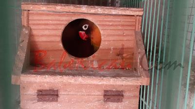 breeding, pembiakan, burung, Lovebird