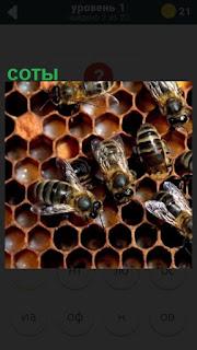 пчелы собирают мед в соты