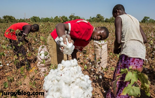 A guide on how to start cotton farming in Nigeria