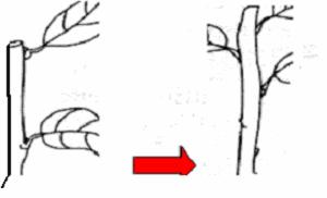 Gambar Perbanyakan dengan setek batang