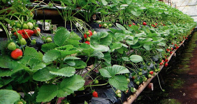 Perkebunan Strawberry