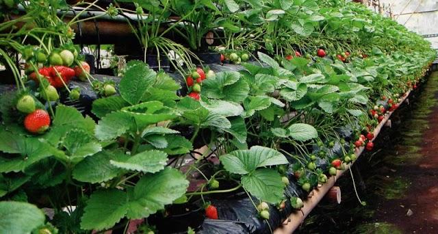 Implementasi Flat And Drain System Pada Perkebunan Strawberry