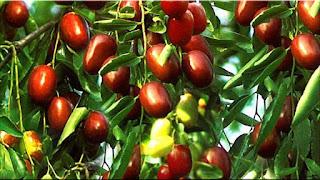 gambar buah widara, bidara