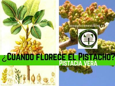 El Pistacho, Florecen de acuerdo con su lugar de origen, el cultivo idóneo para la Península Iberica