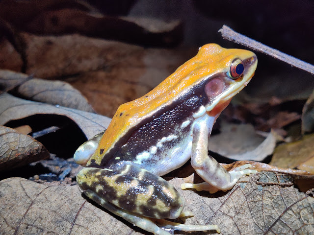 Frogs of Tadoba