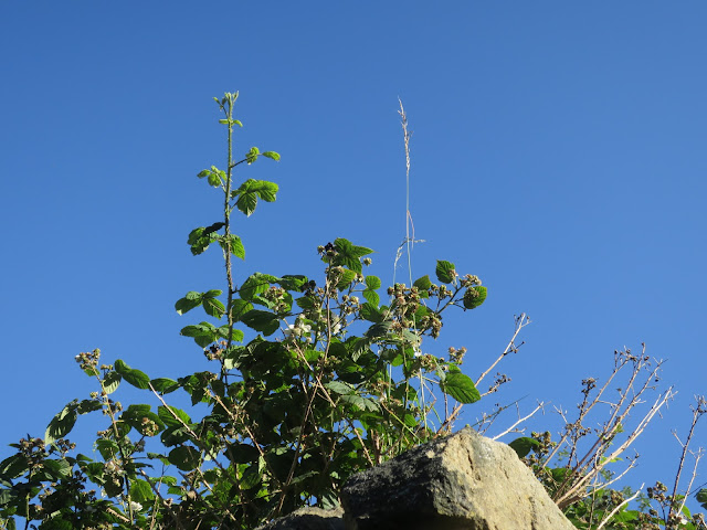 Bramble and grass on top of high wall. 19th July 2020.