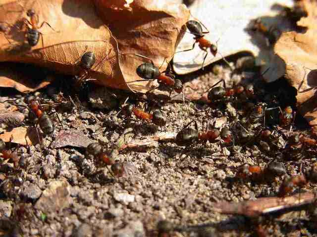 Facts About Ants Behavior and Brain Gene Expression of Defending Host