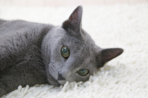 Russian Blue Cat Breed Information, Characteristics and Facts