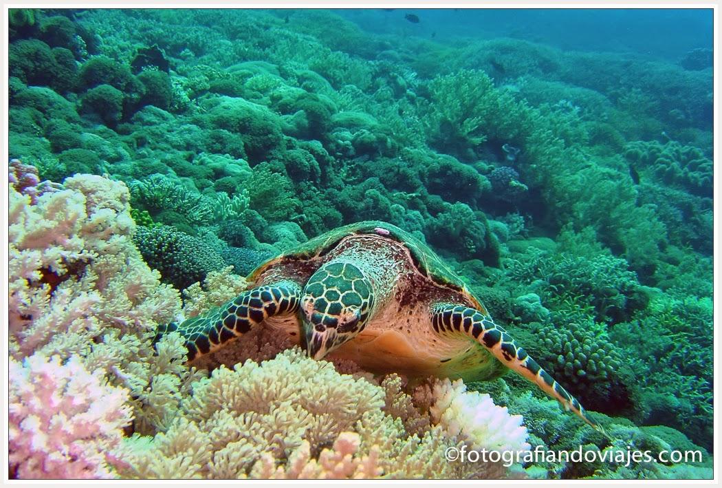Buceo en Layang Layang en Malaysia. tortuga