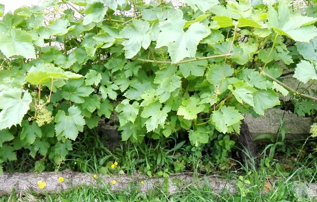 Les vignes au jardin d'Ecolo-bio-nature (vidéo)