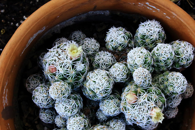 A photo of Thimble Cactus in bloom