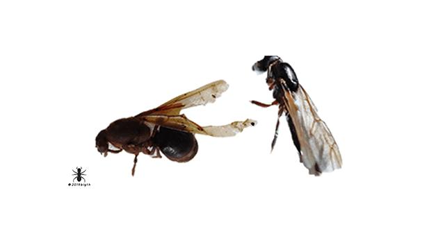 ✅insectos-comestibles-hormigas