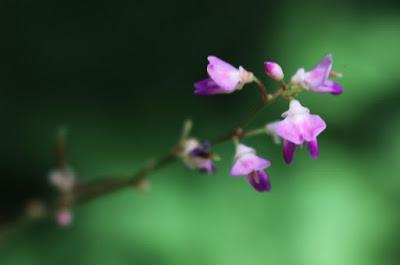 ヌスビトハギの花
