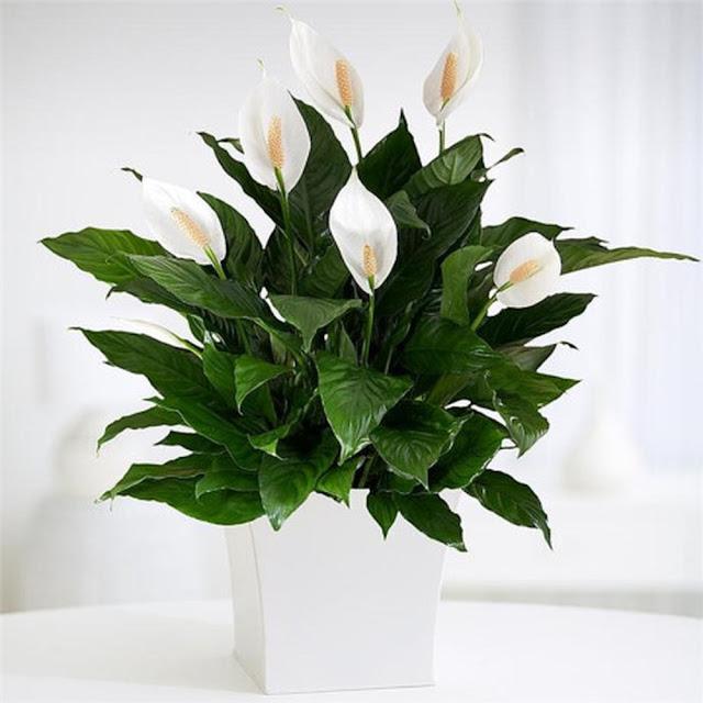hoa y lan
