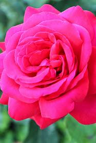 pink rose rosa