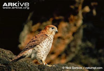 Halcón de Mauricio Falco punctatus