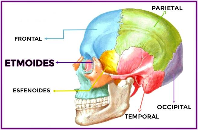 Hueso etmoides del cráneo: vista lateral izquierda