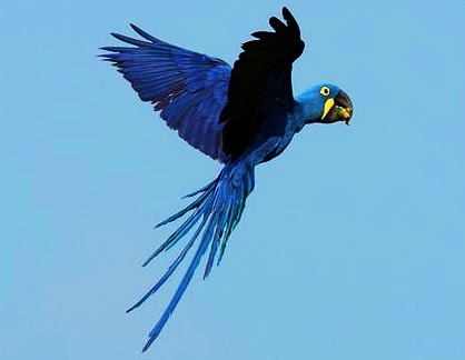 Hyacinth macaw - Wikipedia |Blue Macaw Parrot Flying