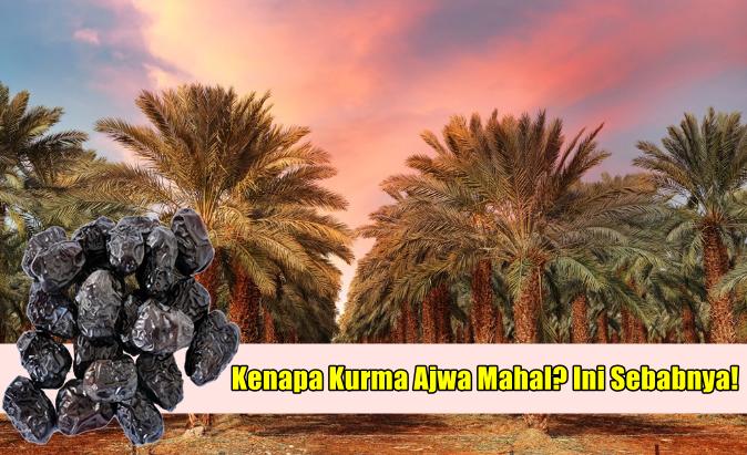 Patutlah Harga Kurma Ajwa Di Malaysia Mahal & Popular, Ini Sebabnya!