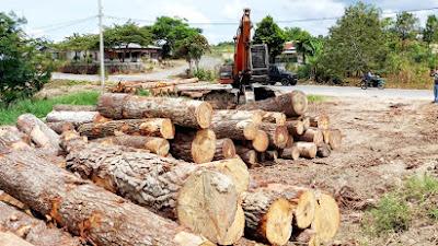 Warga Minta Polda Sumut Tangkap Pelaku Penebangan Kayu Pinus di Toba